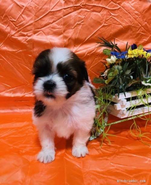 シーズーの子犬(ID:1260611046)の2枚目の写真/更新日:2017-02-23