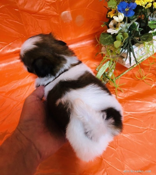 シーズーの子犬(ID:1260611046)の3枚目の写真/更新日:2017-02-23