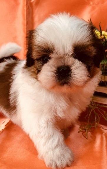 シーズーの子犬(ID:1260611053)の2枚目の写真/更新日:2018-04-23
