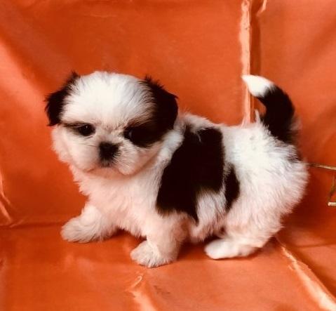 シーズーの子犬(ID:1260611054)の2枚目の写真/更新日:2018-04-23