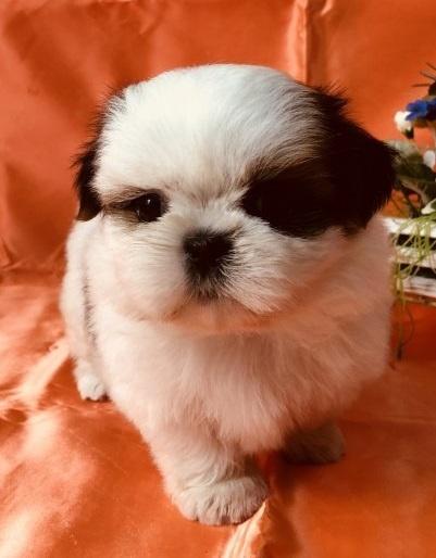 シーズーの子犬(ID:1260611054)の3枚目の写真/更新日:2018-04-23