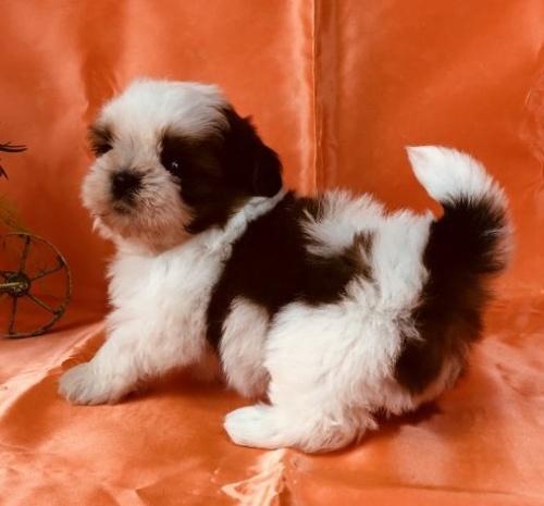 シーズーの子犬(ID:1260611055)の1枚目の写真/更新日:2018-04-23