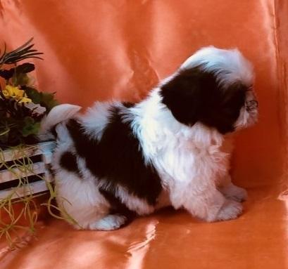 シーズーの子犬(ID:1260611055)の3枚目の写真/更新日:2018-04-23