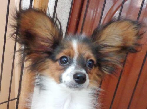 パピヨンの子犬(ID:1260711003)の1枚目の写真/更新日:2016-01-24