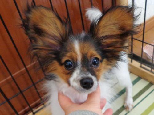 パピヨンの子犬(ID:1260711003)の2枚目の写真/更新日:2016-01-24