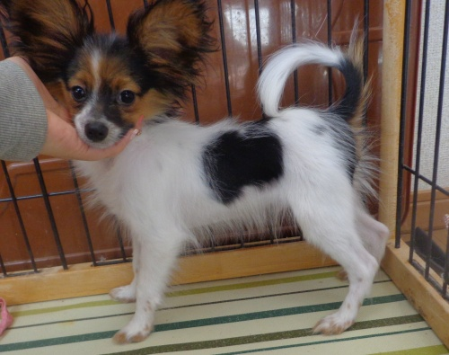 パピヨンの子犬(ID:1260711003)の3枚目の写真/更新日:2016-01-24