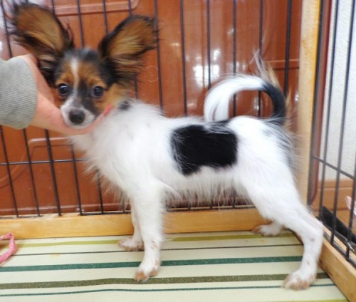 パピヨンの子犬(ID:1260711003)の5枚目の写真/更新日:2016-01-24