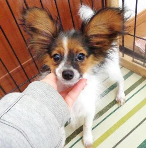 パピヨンの子犬(ID:1260711003)の6枚目の写真/更新日:2016-01-24