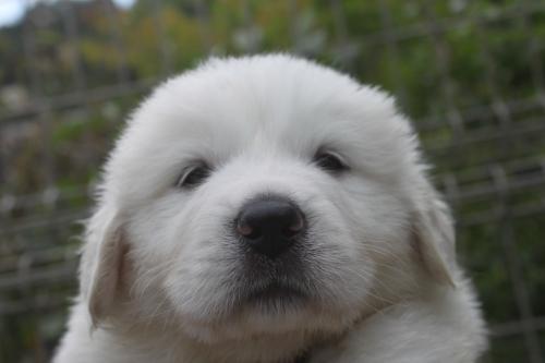 グレートピレニーズの子犬(ID1260911004)の1枚目の写真/