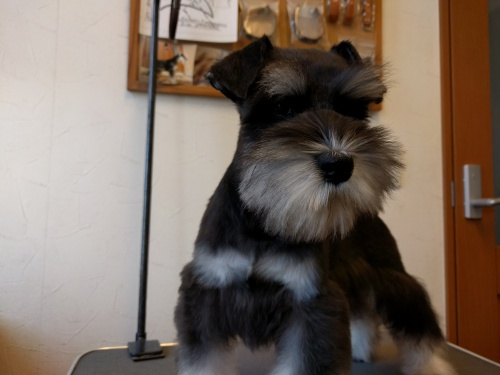 ミニチュアシュナウザーの子犬(ID:1261511016)の4枚目の写真/更新日:2017-02-08