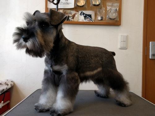 ミニチュアシュナウザーの子犬(ID:1261511018)の3枚目の写真/更新日:2017-02-08