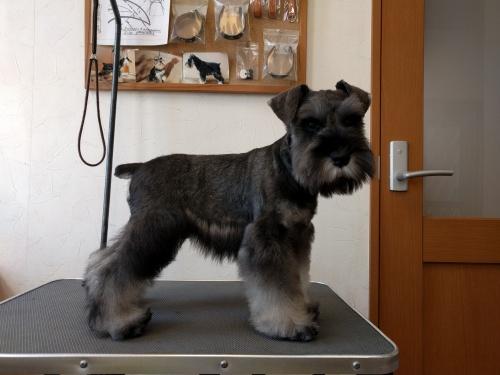 ミニチュアシュナウザーの子犬(ID:1261511018)の4枚目の写真/更新日:2017-02-08