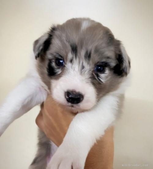 ボーダーコリーの子犬(ID:1261611003)の1枚目の写真/更新日:2019-04-29