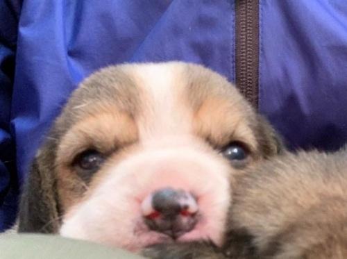 ビーグルの子犬(ID:1261611004)の2枚目の写真/更新日:2018-10-11