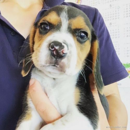 ビーグルの子犬(ID:1261611005)の1枚目の写真/更新日:2018-11-02