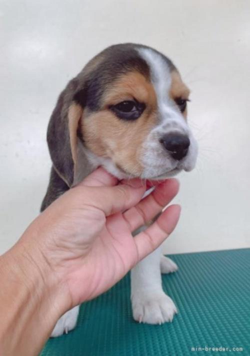 ビーグルの子犬(ID:1261611006)の2枚目の写真/更新日:2018-11-05