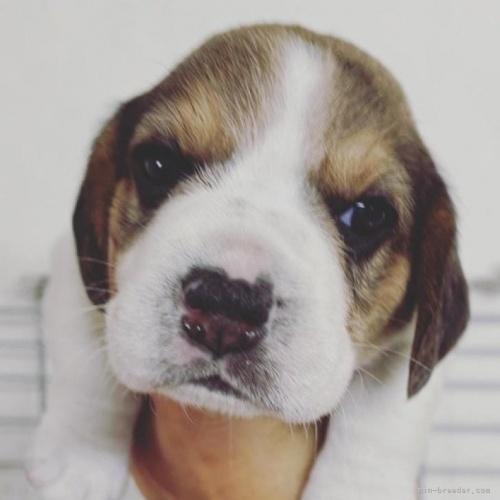 ビーグルの子犬(ID:1261611011)の1枚目の写真/更新日:2020-02-18