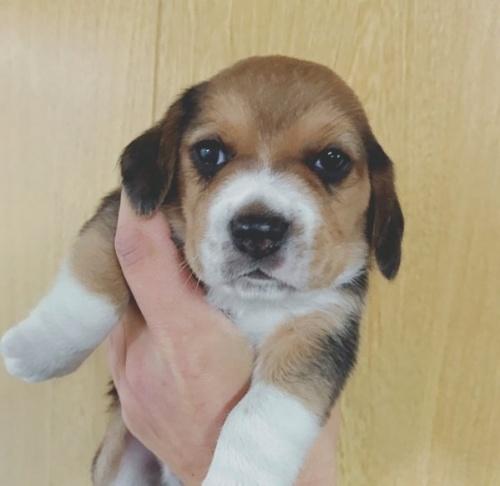 ビーグルの子犬(ID:1261611015)の1枚目の写真/更新日:2017-01-01