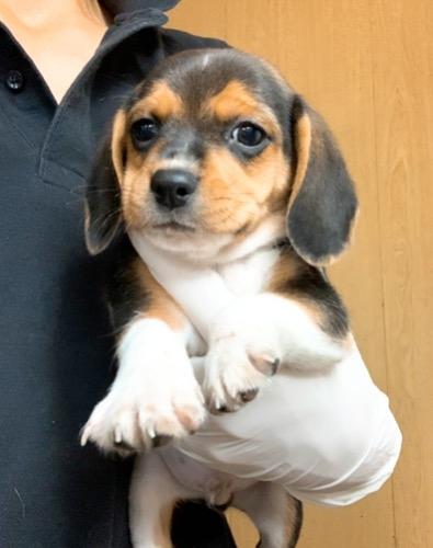 ビーグルの子犬(ID:1261611020)の1枚目の写真/更新日:2017-03-24