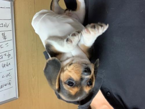 ビーグルの子犬(ID:1261611020)の2枚目の写真/更新日:2017-03-24