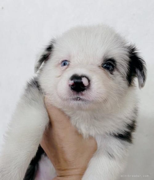 ボーダーコリーの子犬(ID:1261611022)の1枚目の写真/更新日:2018-08-25