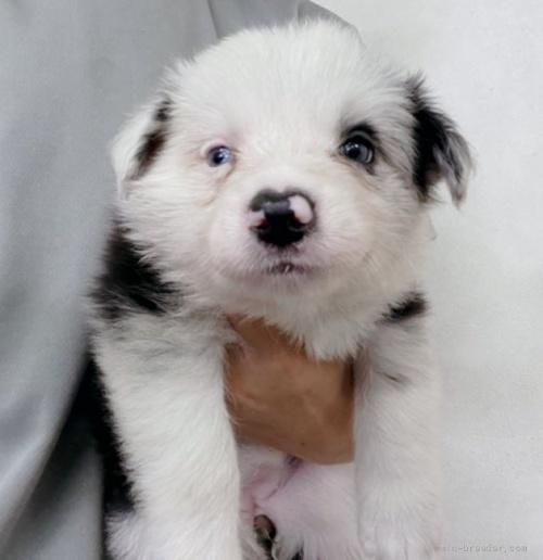 ボーダーコリーの子犬(ID:1261611022)の2枚目の写真/更新日:2018-08-25
