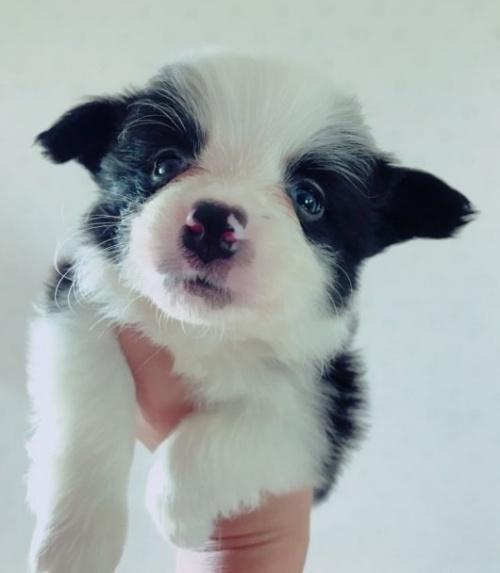 ボーダーコリーの子犬(ID:1261611023)の1枚目の写真/更新日:2018-08-25