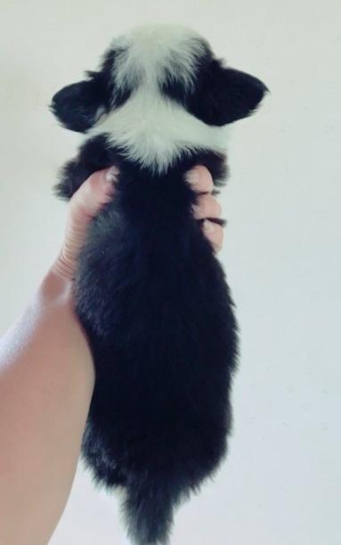 ボーダーコリーの子犬(ID:1261611023)の3枚目の写真/更新日:2018-08-25