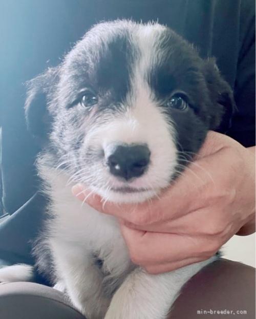 ボーダーコリーの子犬(ID:1261611025)の2枚目の写真/更新日:2019-04-29
