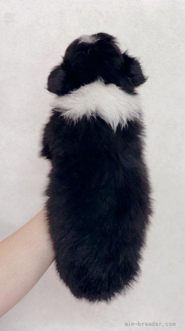 ボーダーコリーの子犬(ID:1261611025)の4枚目の写真/更新日:2018-09-02
