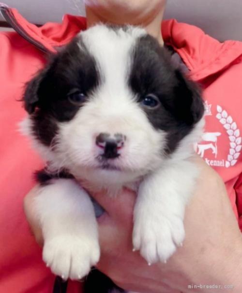 ボーダーコリーの子犬(ID:1261611026)の1枚目の写真/更新日:2019-04-29