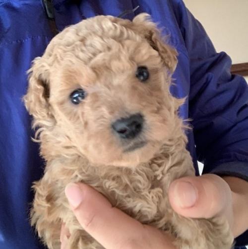 トイプードルの子犬(ID:1261611030)の1枚目の写真/更新日:2018-08-25