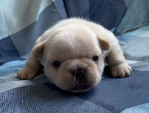 フレンチブルドッグの子犬(ID:1261611031)の2枚目の写真/更新日:2018-11-26