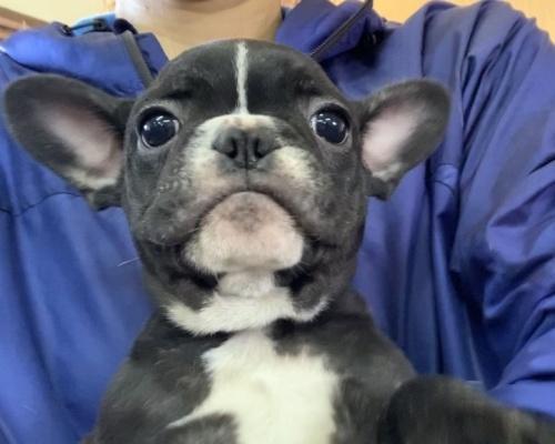 フレンチブルドッグの子犬(ID:1261611033)の1枚目の写真/更新日:2018-12-19