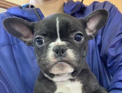 フレンチブルドッグの子犬(ID:1261611033)の2枚目の写真/更新日:2018-12-19