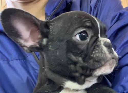 フレンチブルドッグの子犬(ID:1261611033)の3枚目の写真/更新日:2020-01-13
