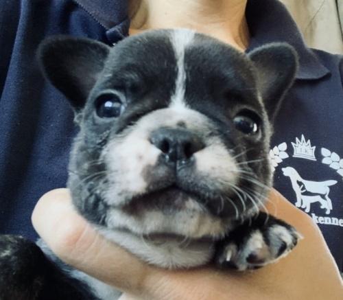 フレンチブルドッグの子犬(ID:1261611035)の2枚目の写真/更新日:2018-12-19