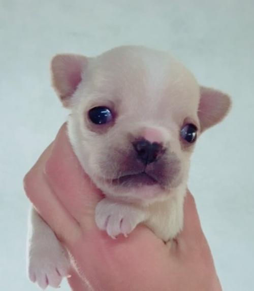 フレンチブルドッグの子犬(ID:1261611038)の1枚目の写真/更新日:2018-12-19