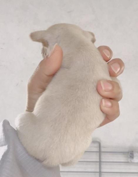 フレンチブルドッグの子犬(ID:1261611038)の3枚目の写真/更新日:2018-12-19