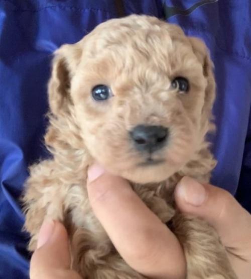トイプードルの子犬(ID:1261611039)の1枚目の写真/更新日:2019-01-07