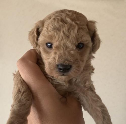 トイプードルの子犬(ID:1261611039)の2枚目の写真/更新日:2019-01-07
