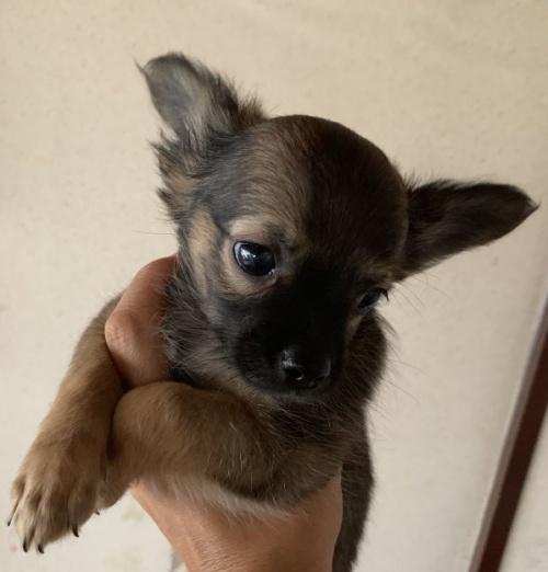 チワワ(ロング)の子犬(ID:1261611040)の1枚目の写真/更新日:2019-01-07