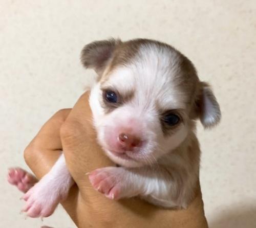チワワ(ロング)の子犬(ID:1261611041)の1枚目の写真/更新日:2019-01-07