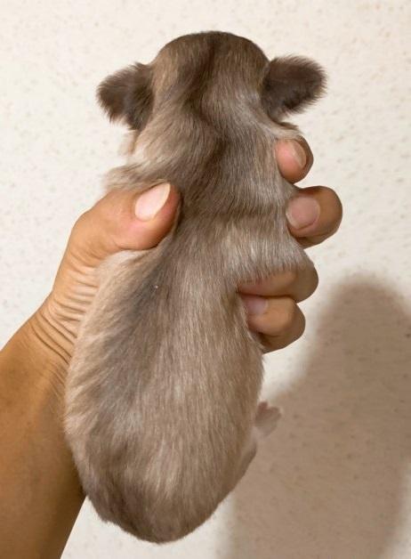 チワワ(ロング)の子犬(ID:1261611041)の3枚目の写真/更新日:2019-01-07