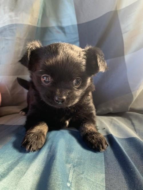 チワワ(ロング)の子犬(ID:1261611042)の1枚目の写真/更新日:2019-01-07