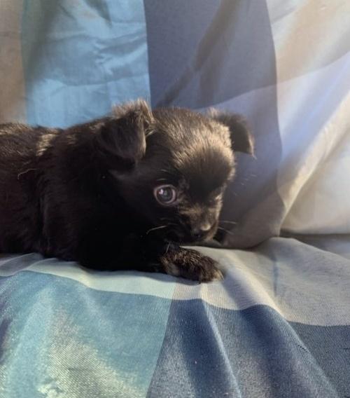 チワワ(ロング)の子犬(ID:1261611042)の2枚目の写真/更新日:2019-01-07