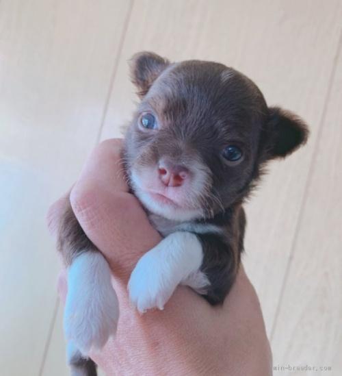 チワワ(ロング)の子犬(ID:1261611044)の1枚目の写真/更新日:2019-01-07