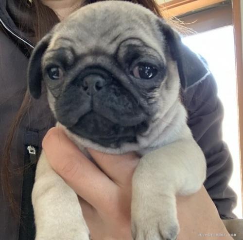 パグの子犬(ID:1261611052)の1枚目の写真/更新日:2020-03-01