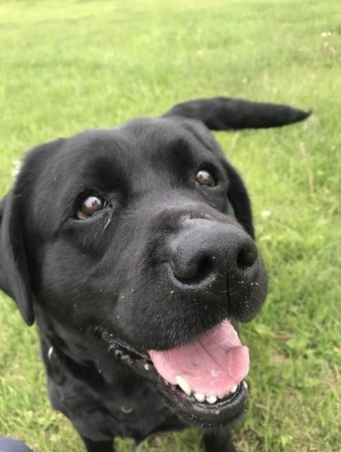 ラブラドールレトリバーの子犬(ID:1261611056)の3枚目の写真/更新日:2019-03-04