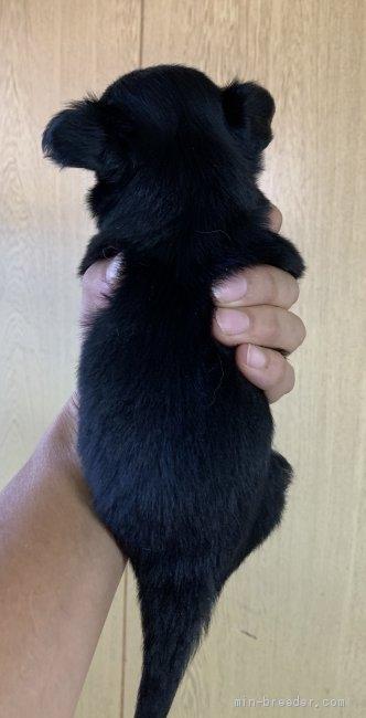 チワワ(ロング)の子犬(ID:1261611061)の3枚目の写真/更新日:2020-09-07
